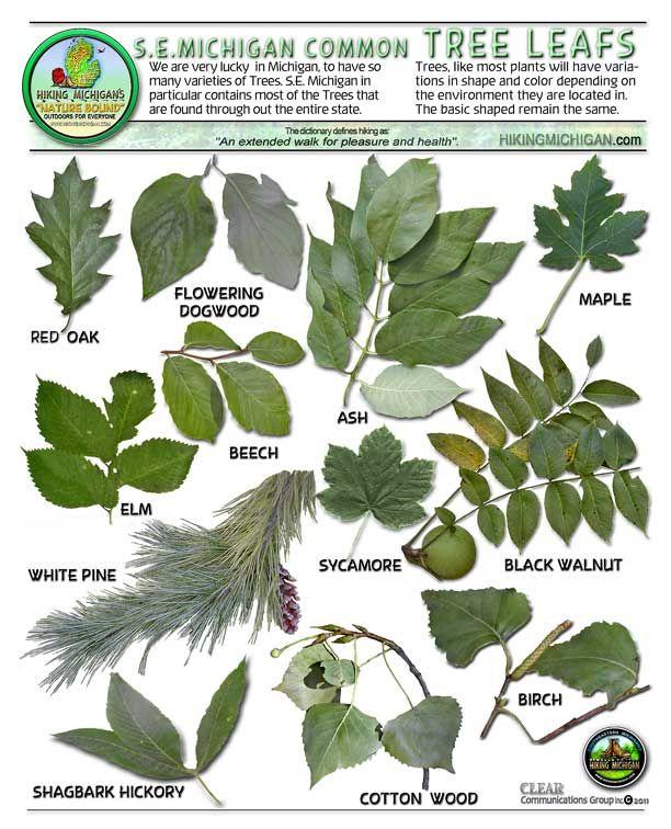 Michigan Dnr Hiking Michigan Michigan Trees Tree Leaf Identification Tree Identification