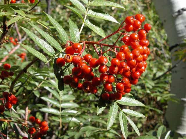 Rowan Or Mountain Ash Berries