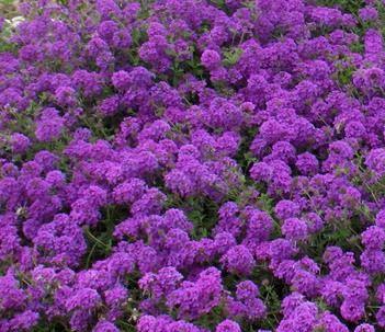 Evergreen ground cover-- Purple Spreader™ Garden Verbena - Monrovia - Purple Spreader™ Garden Verbena