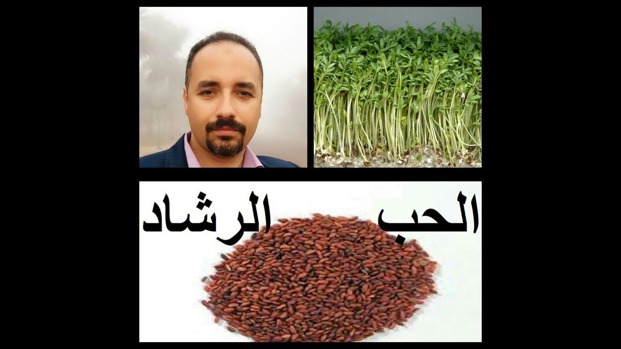 حب الرشاد حبة الحمرا Garden Cress كيفية زراعتها بالمنزل وفوائدها حلقة How To Dry Basil Plants Herbs