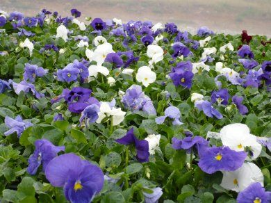 Cool Water Mix Plants That Bloom Water Mixes Pansies Plants
