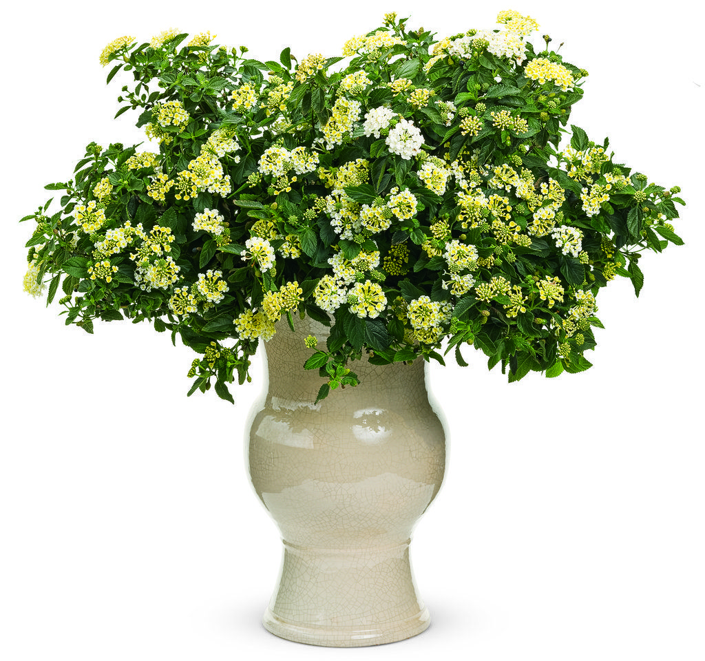 Plant information four star greenhouse container plants spring luscious pia colada lantana camara annual puffs of small white flowers packed into cluster adorn the dark foliage of this plant izmirmasajfo