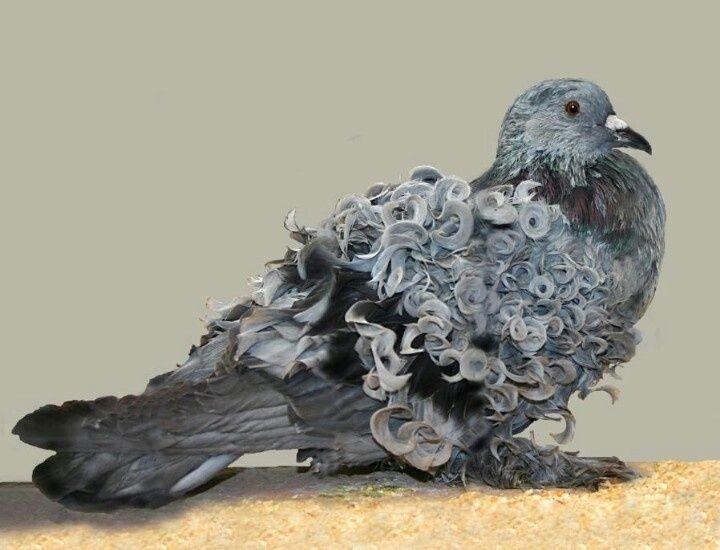 Resultado de imagem para pigeon