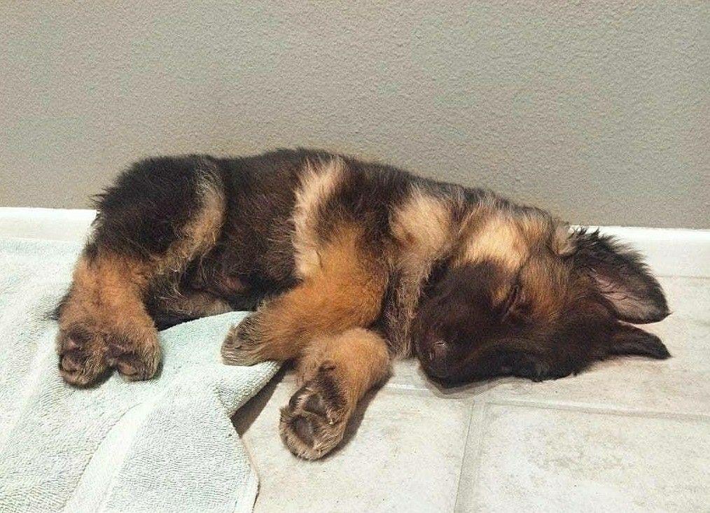 German Shepherd Puppy Sleeping Positions Cute German Shepherd