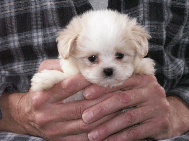 Pooky Papillion Toy Poodle Mix Poodle Mix Puppies Poodle Puppy
