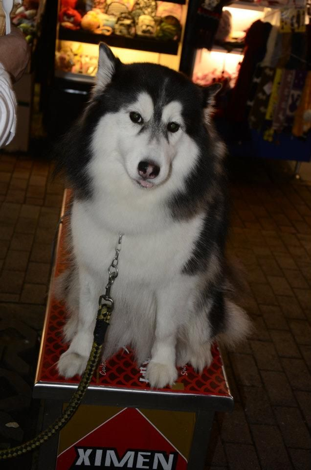 This Siberian Husky Is Such A Beauty Cute Animals Husky
