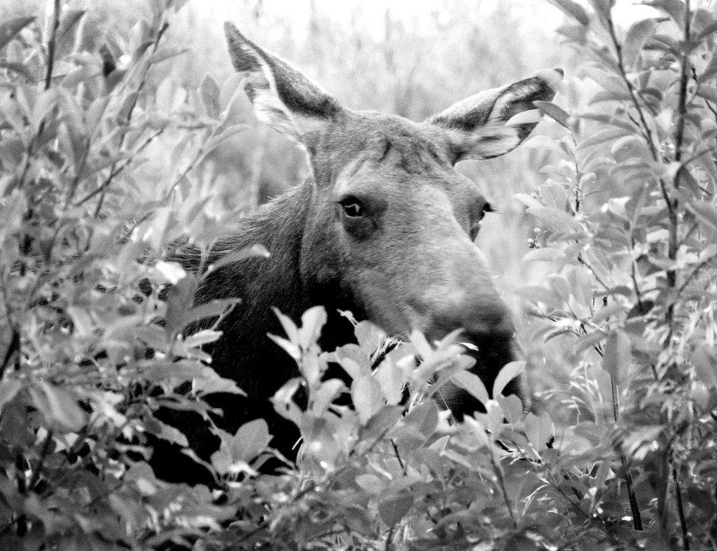 Moose black & white Moose, Animals, Jackson wyoming