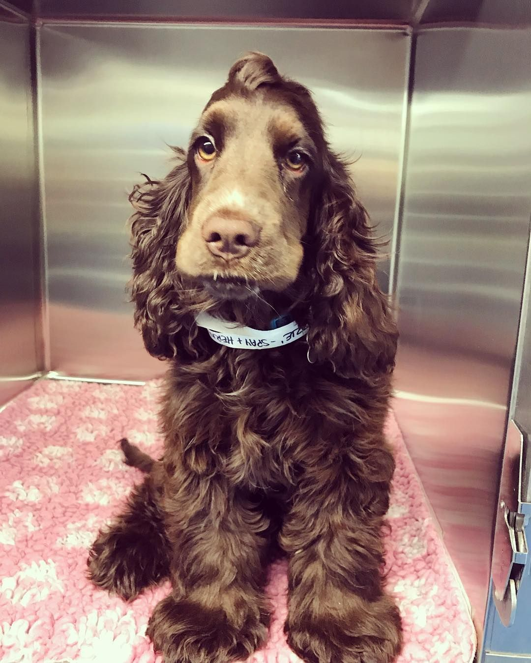 This Gorgeous Girl Is Lizzie We Think Shes Just Simply Beautiful And Sooooo Fluffy Vetnurses Dogsofreading Cocker Spaniel Cocker Spaniel Dog Spaniel Puppies