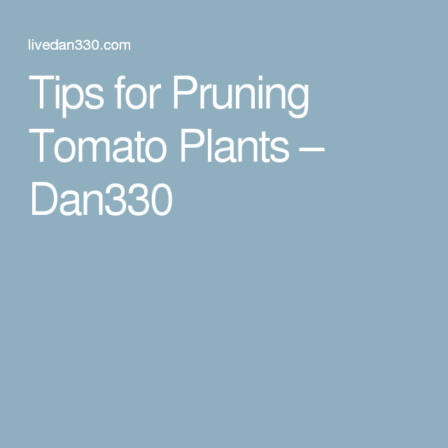 Tips for Pruning Tomato Plants – Dan330