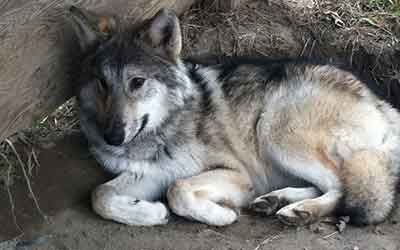 Howling Woods Farm Is An Animal Rescue And Wolfdog Education Center Animals Animal Rescue Wolf Dog