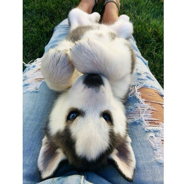 I Came Across Rogue The Husky Puppy S Instagram This Morning And Couldn T Be Any Cuter