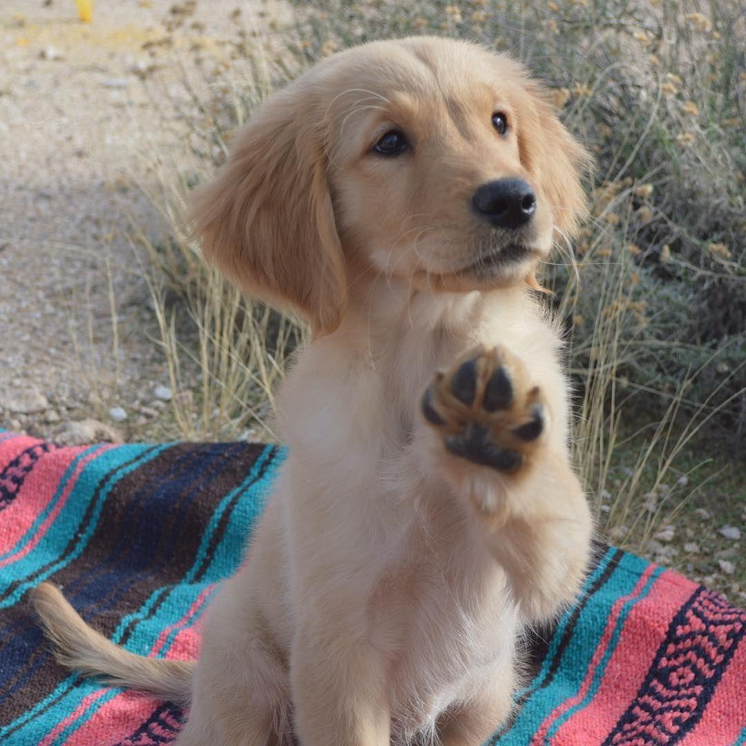 August Golden Puppy Puppy Pictures Puppies