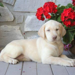 Yellow Labrador Retriever Puppies For Sale | Greenfield Puppies