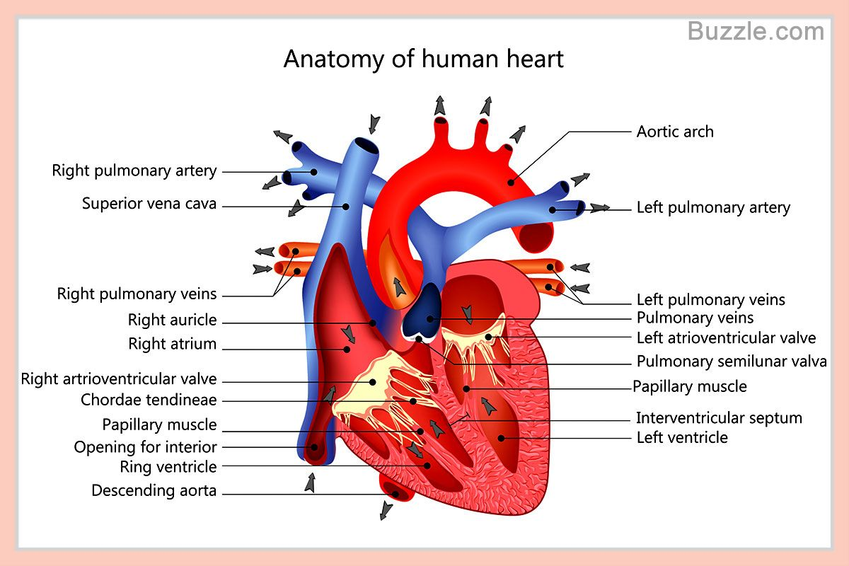 Heart Diagram Inside 7 Wire Trailer Plug Wiring Human Labeled Anatomy Drawing Pinterest A