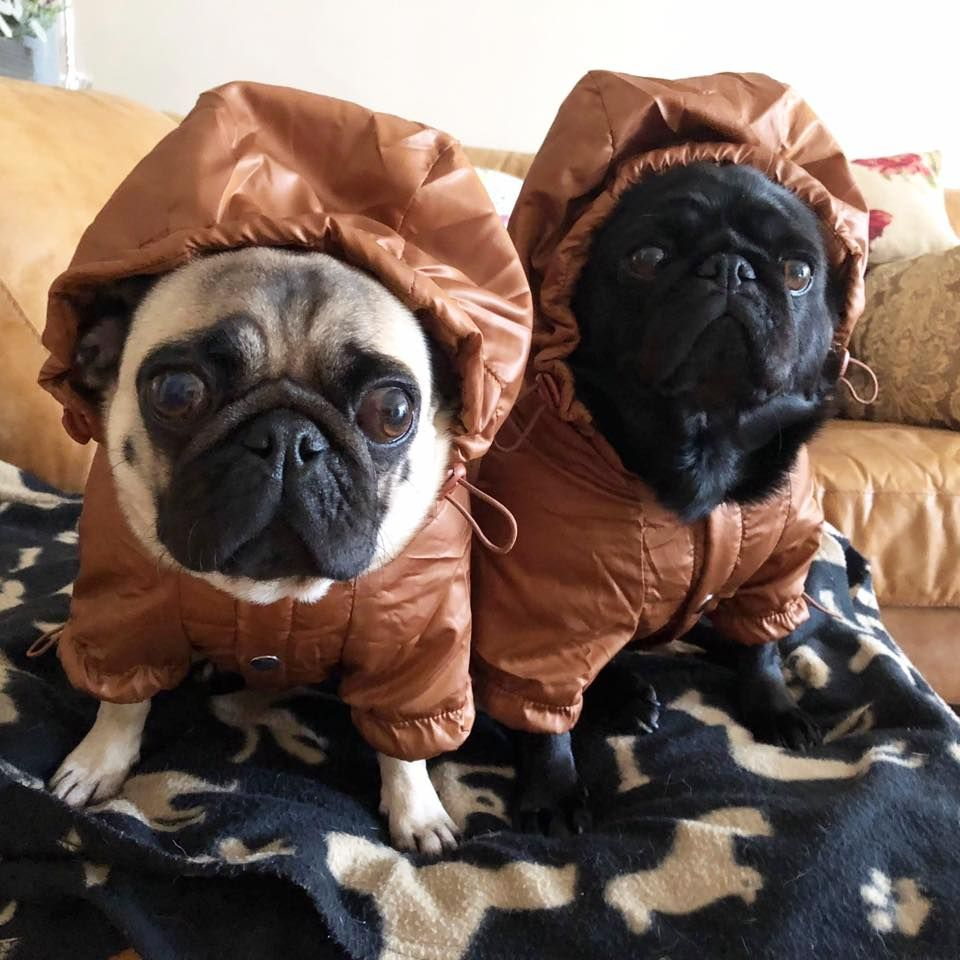 Urban Pup Bronze Windbreaker Coat At Www Ilovepugs Co Uk Sizes S
