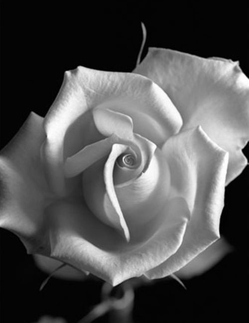The Monochrome Mind Black White Flowers Roses Only Rose