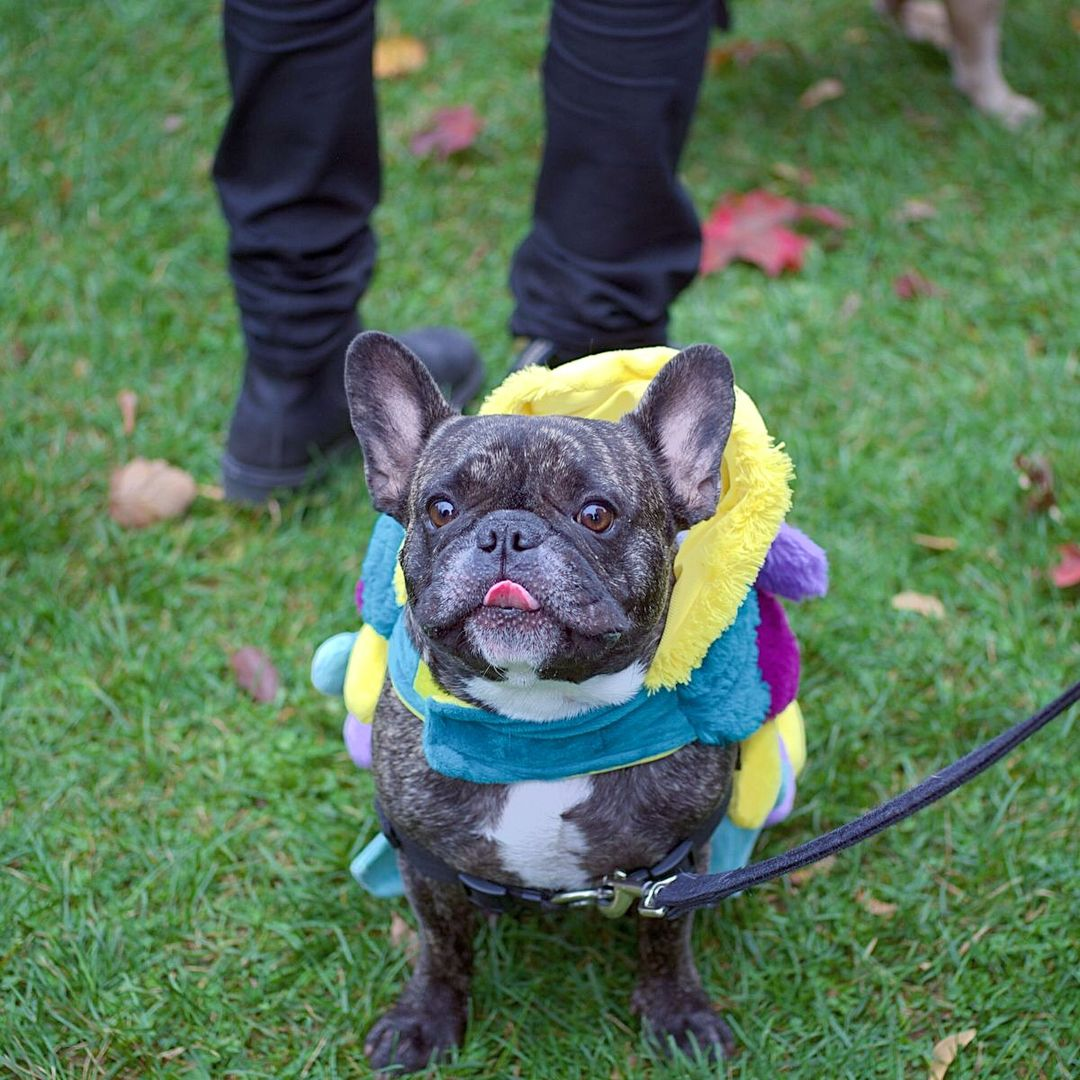 Frenchie parade that happened in earlier this year at trinity