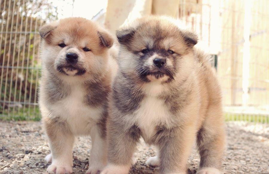 Most Inspiring Akita Chubby Adorable Dog - 134086be34c608964dceab9479183615  Gallery_635184  .jpg