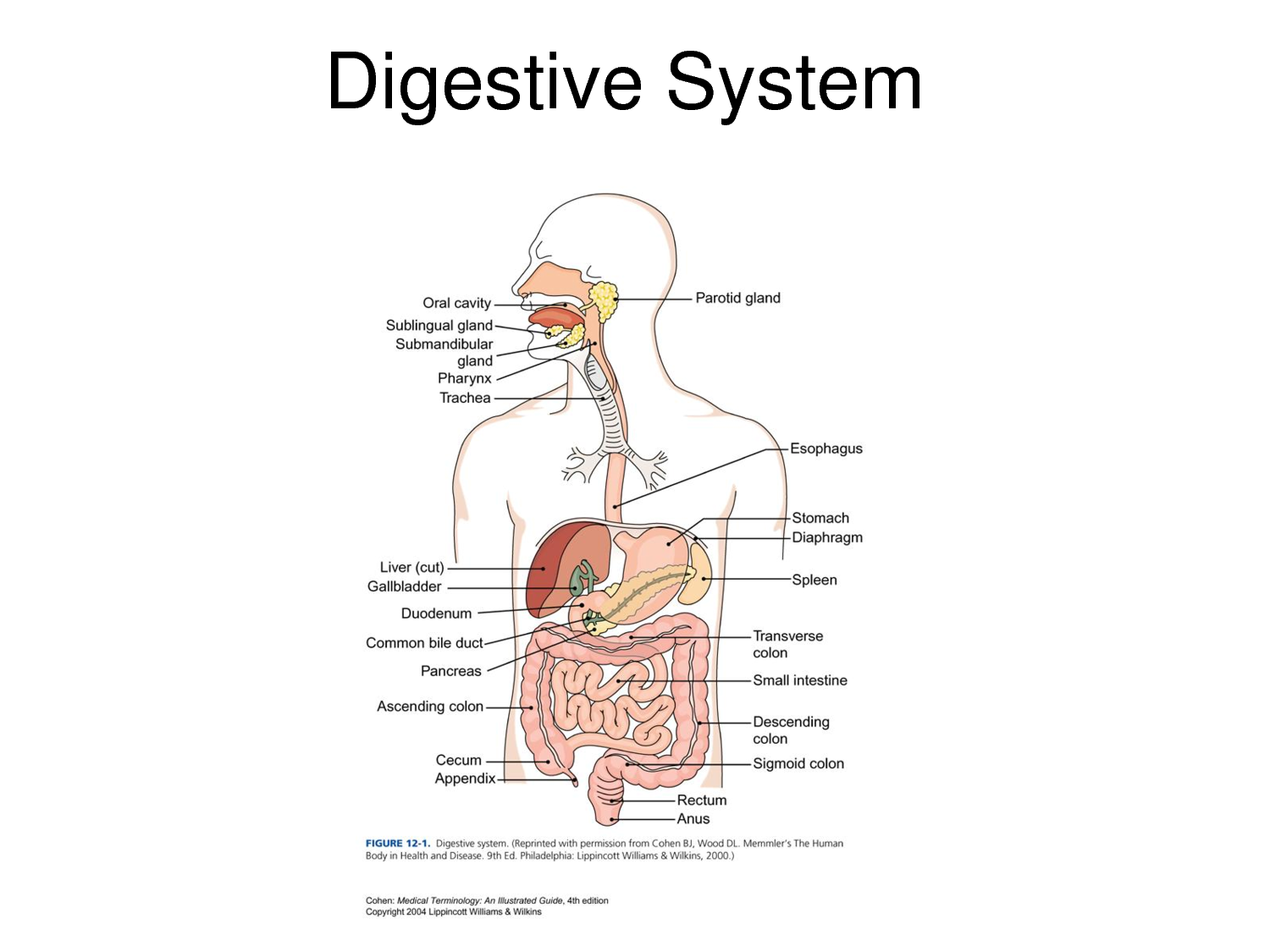 human digestive system labeled health medicine and anatomy reference pictures [ 1500 x 1125 Pixel ]