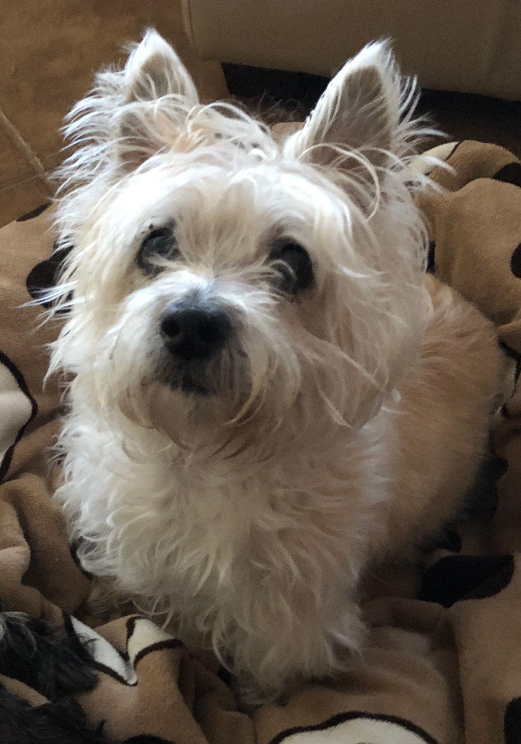 Sweet Lucy Glen Of Imaal Terrier Westie Terrier Scottie Dog