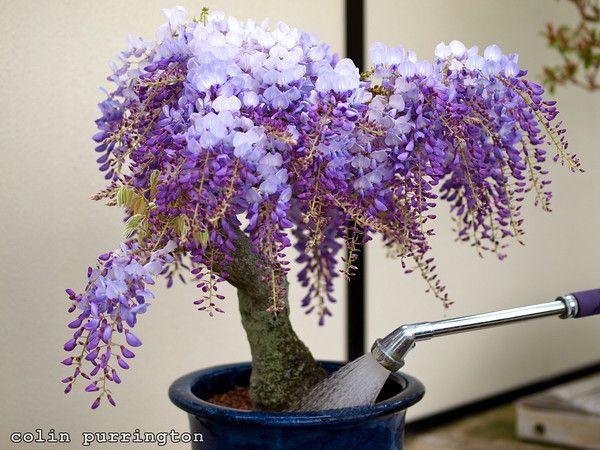 Heirloom 10 Wisteria Seeds Bonsai Tree Seeds Wisteria Sinensis Chinese Wisteria Vine Violet Blue Flowers T017 Wisteria Bonsai Flowers Perennials Flower Seeds