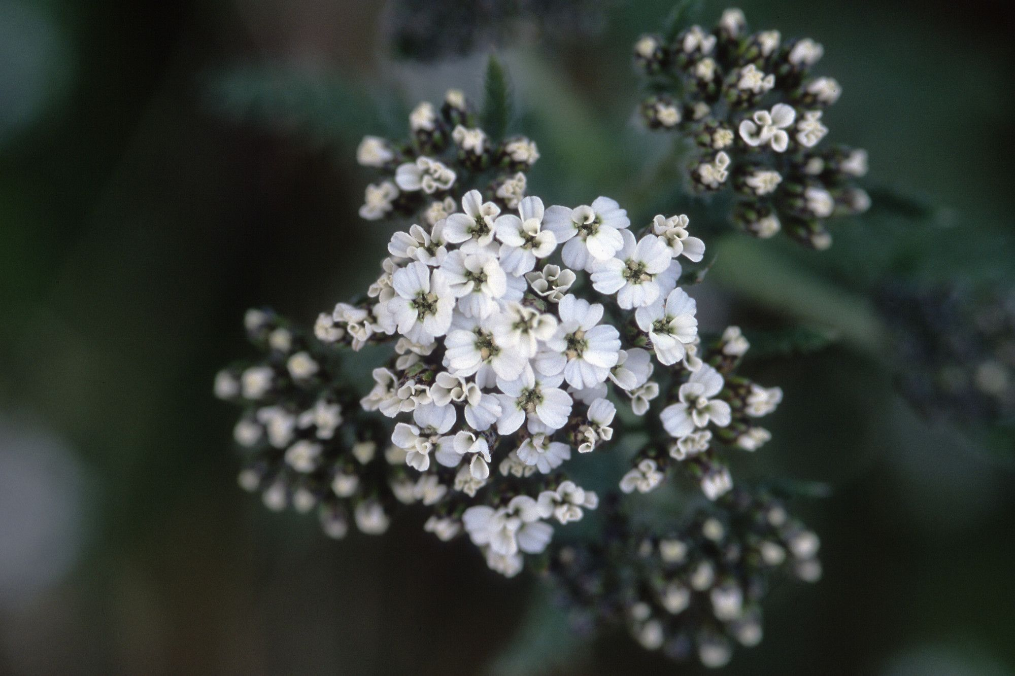 Small White Flowers Google Search