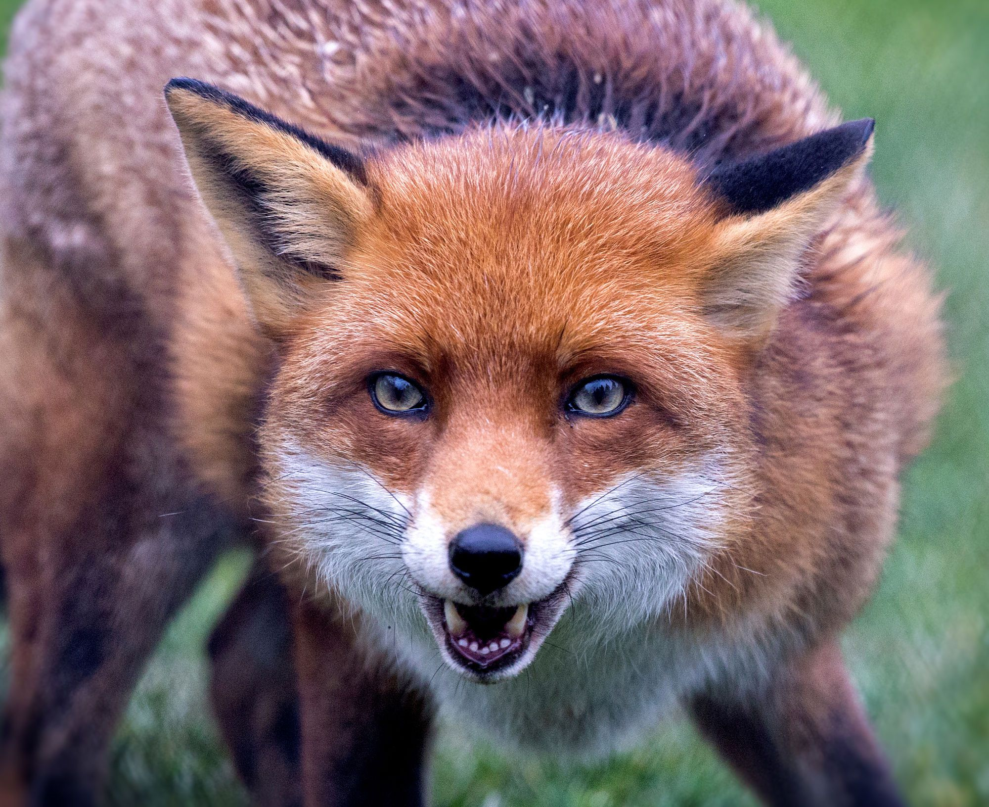 Close up shot of the face of a red fox   Carnivora Vulpini ...