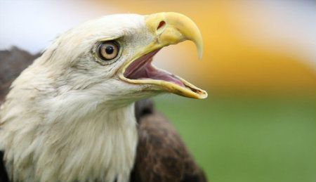 EUA autorizam tribo a matar águias para fins religiosos - http://www.paulopes.com.br/2012/03/eua-autorizam-tribo-matar-aguias-para.html