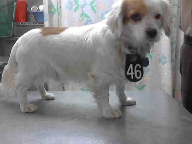No Longer Listed Texas Bombon Id A390908 Is A 2yo King Charles Spaniel Mix At The Shelter Since 1 30 14 In Nee Animal Shelter Pets King Charles Spaniel