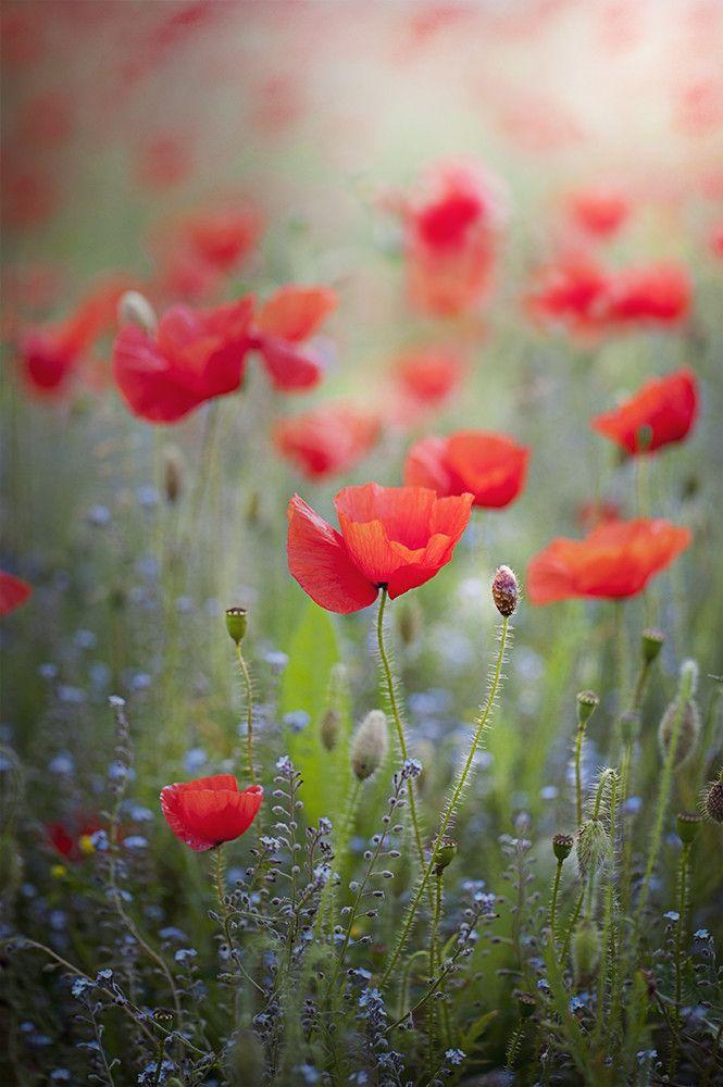 Field Poppies Mit Bildern Fotos Blumen