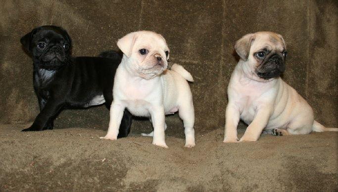 Cute Black White Fawn Pug Puppies Pug Puppies Fawn Pug Puppies