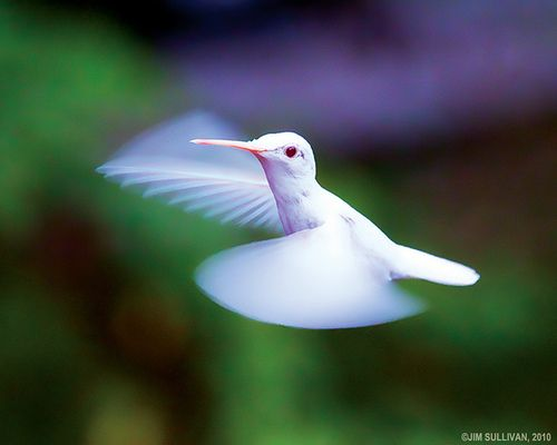 Albino Hummingbird picture