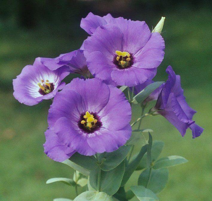 Forever Blue Lisianthus Aka Texas Bluebell Eustoma Grandiflorum Forever Blue Lisianthus Flower Pictures Purple Flowers