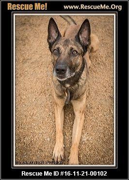 Arizona Belgian Malinois Rescue Adoptions Rescueme Org