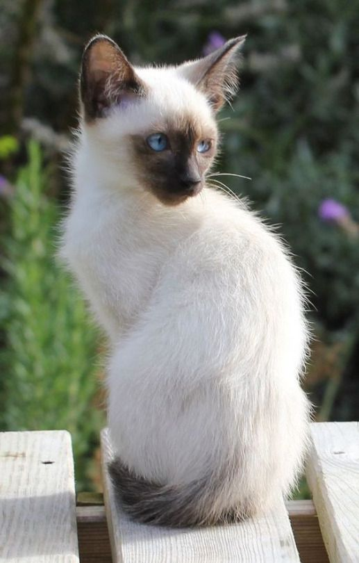 Siamese kittens by Angi on *Puurfect Cats* Beautiful