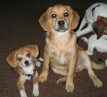 Pomeagle Beagle Pomeranian Hybrid Dogs Pomeagles With Images