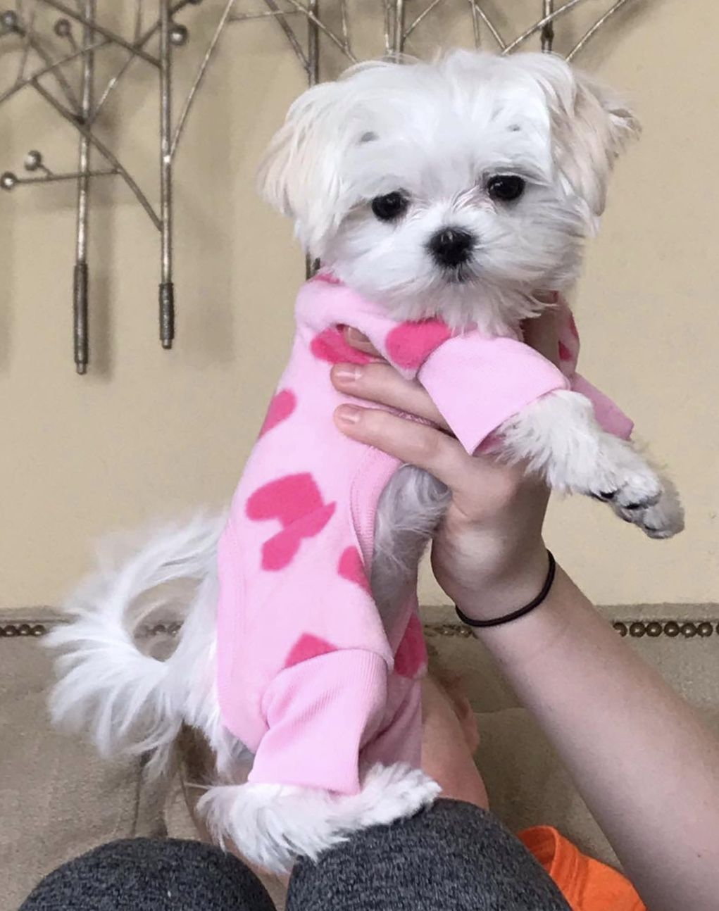 Adorable Maltese Puppy In Her Jammies Maltese Dogs Maltese