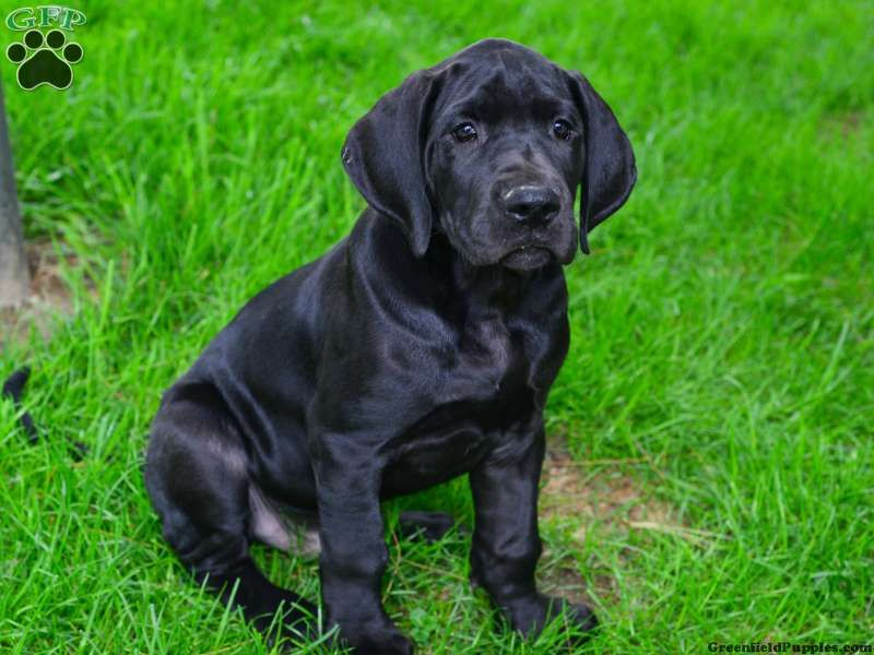 Onix Great Dane Puppy For Sale In Ohio Great Dane Puppy