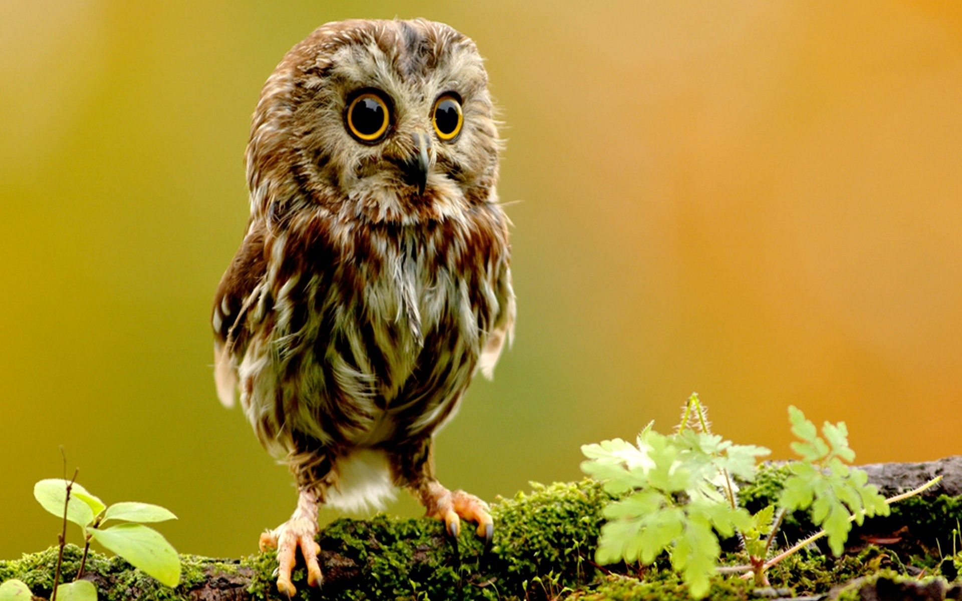 colorful owl wallpaper owl wallpaper, animals, owlet, small hd