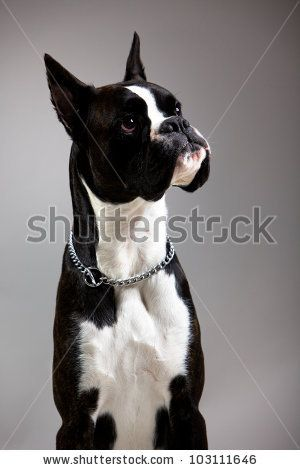 Boxer Dog White And Black Google Search White Dog Breeds Black And White Dog White Boxer Dogs