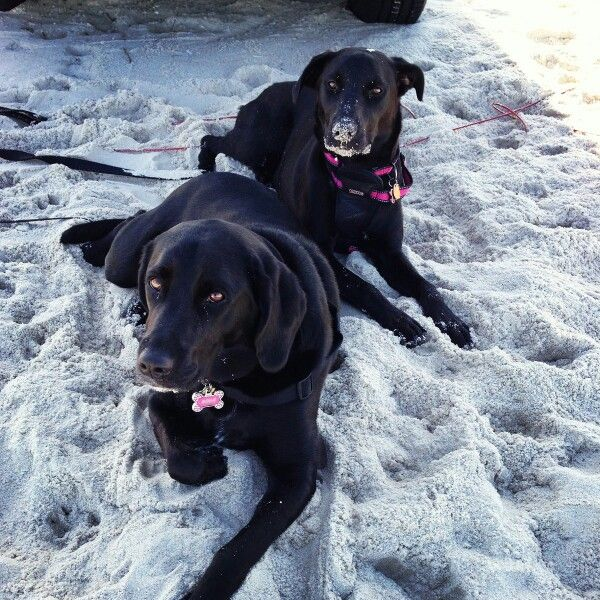 Our Black Lab Mixes Relaxing On The Beach Pawfectattire Pug