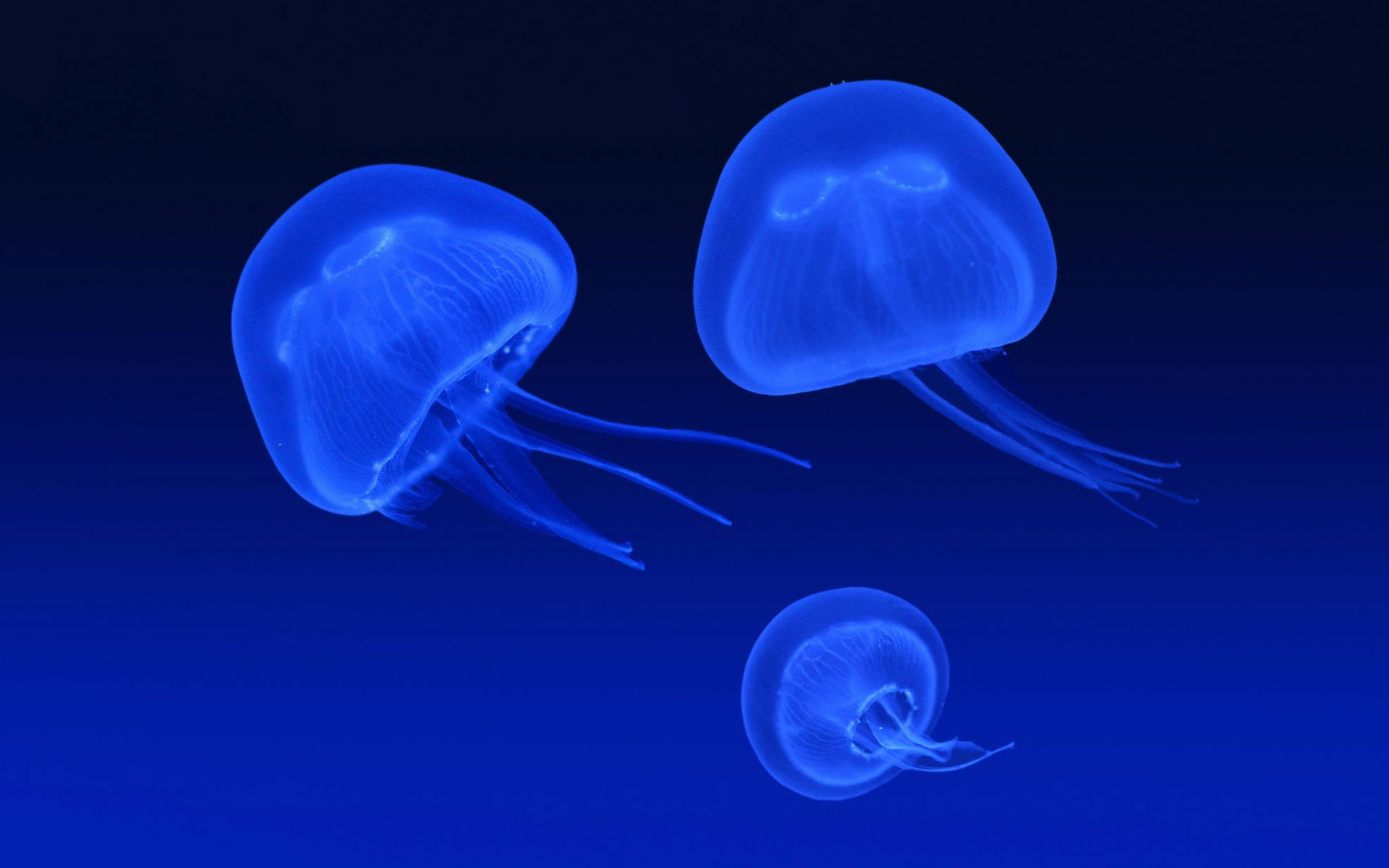 Moon Jellyfish 4k Ultra Hd Wallpaper Floating Jellyfish