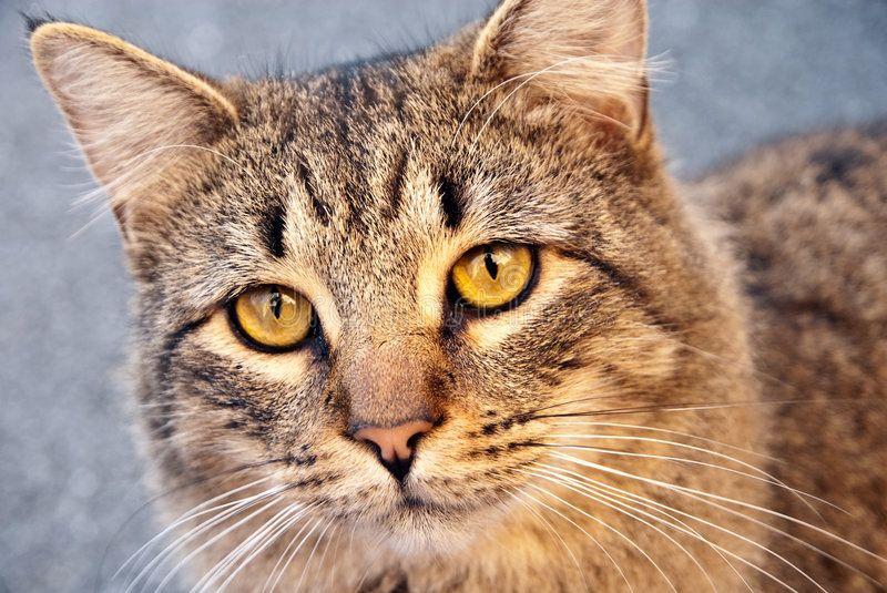 Yellow Eyed Tabby Cat Stock Photos Image 7254093 Cat