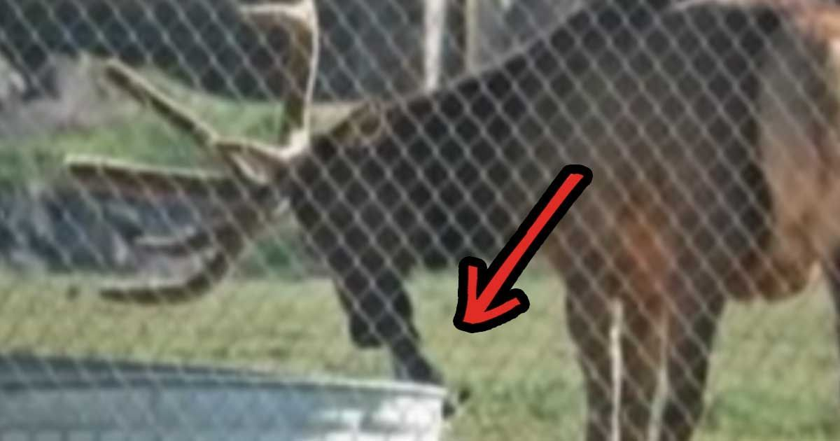 Zookeepers Had No Clue What This Elk Was Doing Until They Spotted This