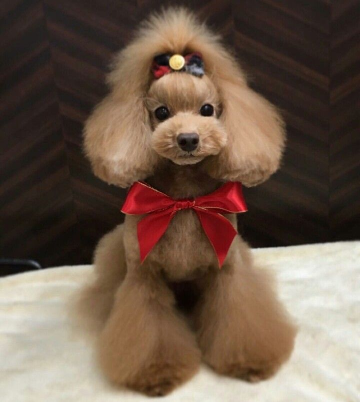 Poodle Asian Fusion Dog Grooming