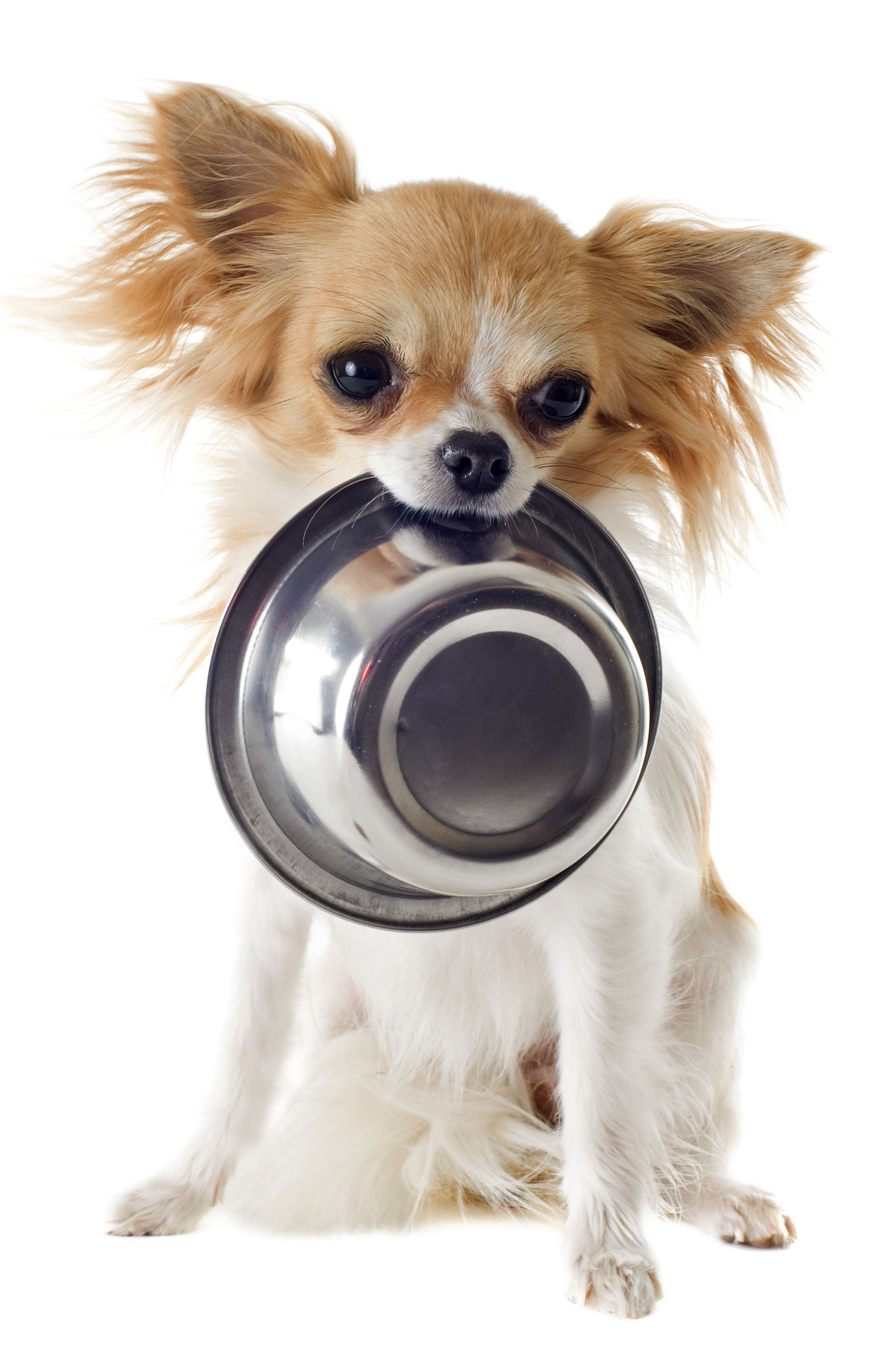Choosing The Right Dog Food For A Chihuahua Best Dog Food