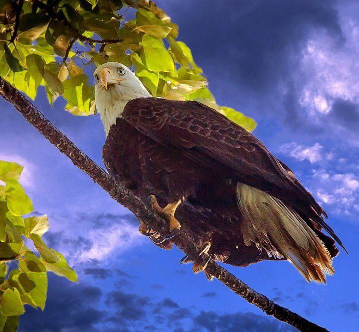 Awesome Eagle at Lake Sammamish State Park, WA- Photo Credit