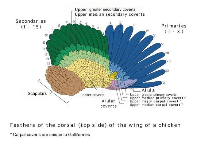 Chicken Wing Dorsal Animals And Plants Pinterest Poultry