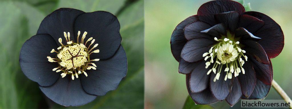 Naturally Black Flowers Thin Blog