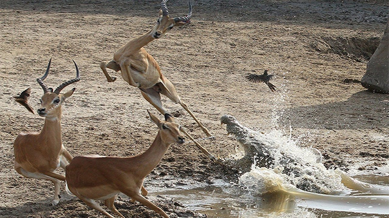crocodile vs antelope crocodile attack animals 2016